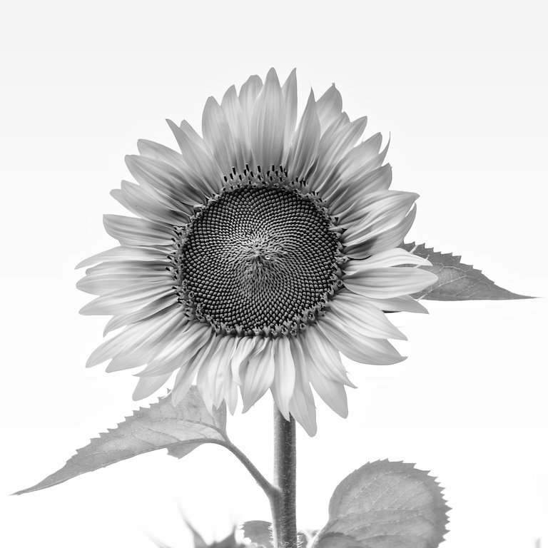 Sunflower B & W