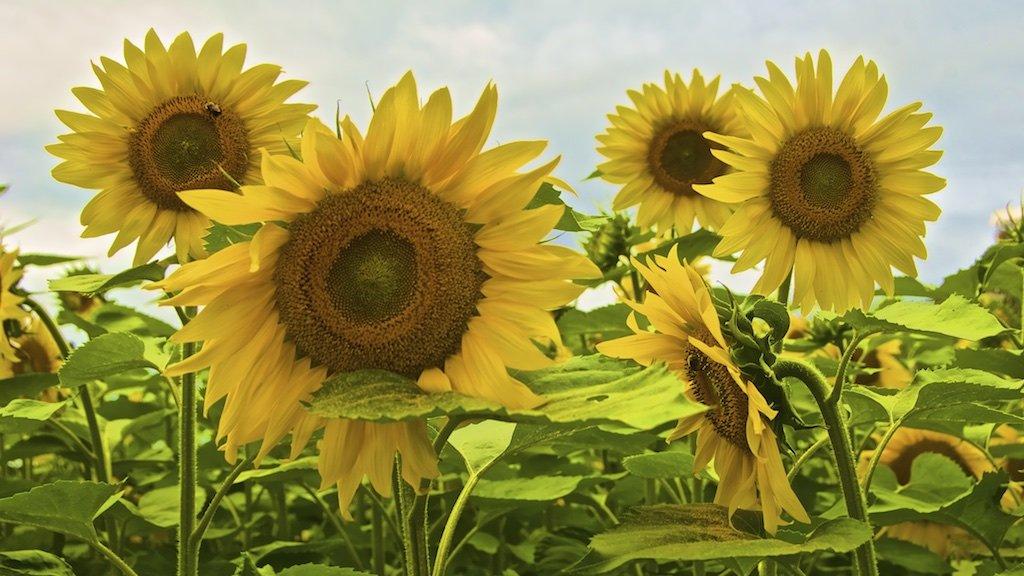 Sunflower Group