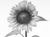 Sunflower B & W