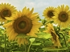 Sunflower Group