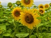 Sunflower Group 2