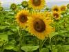 Sunflower Group 2
