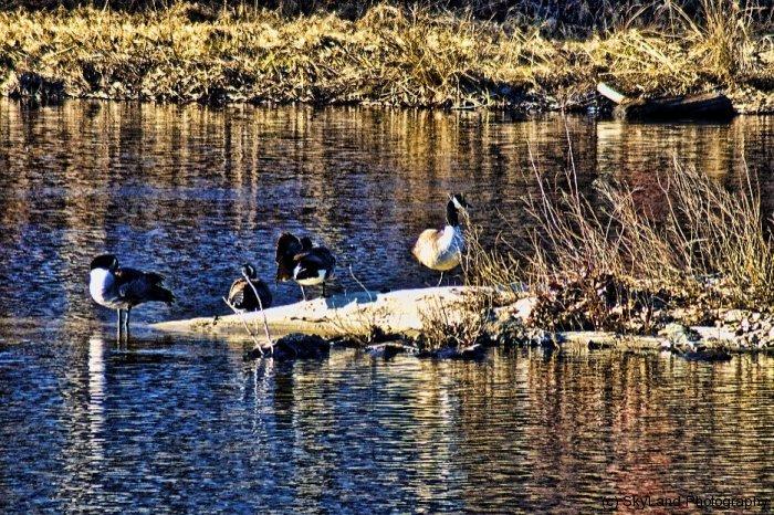 Farmington River Ducks