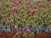 Cranberry Vines