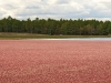 Cranberries in Bog