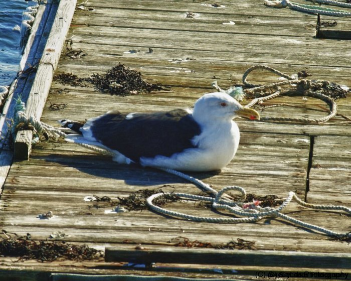 Seagull on Raft