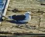 Seagull on Raft
