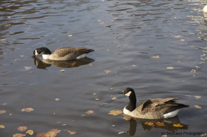 Town Geese