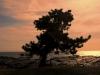 Sunset Pine