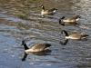Town Geese II