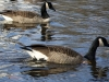 Town Geese III
