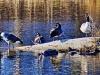 River Ducks II