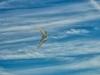 Bird Kite in Flight